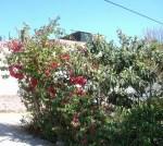 Florecitas en La Piedad,33