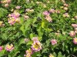 Florecitas en La Piedad (esta en septiembre)